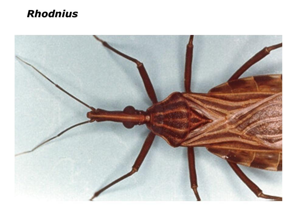 ORDEM SIPHONAPTERA São as pulgas, são ectoparasitos obrigatórios de aves e mamíferos, pernas posteriores longas.