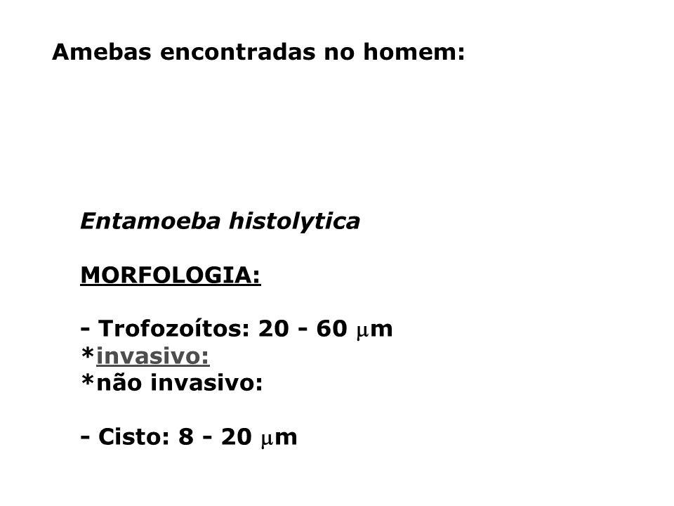 Amebas encontradas no homem: Entamoeba histolytica MORFOLOGIA: - Trofozoítos: 20 - 60 m *invasivo:invasivo: *não invasivo: - Cisto: 8 - 20 m