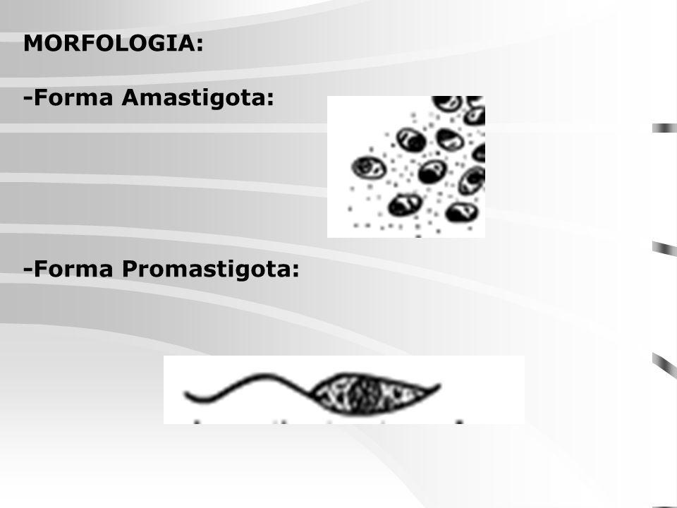 Amastigotas