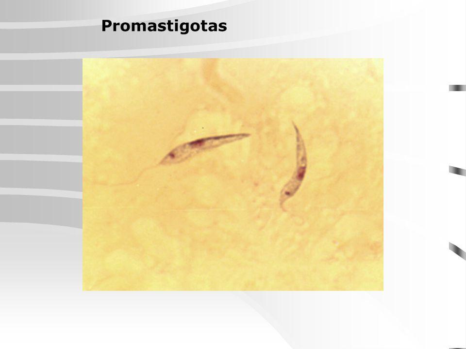 Classificação das espécies de leishmânias em complexos fenotípicos (OMS,1990): Complexo Leishmania braziliensis Espécies pertencentes: L.