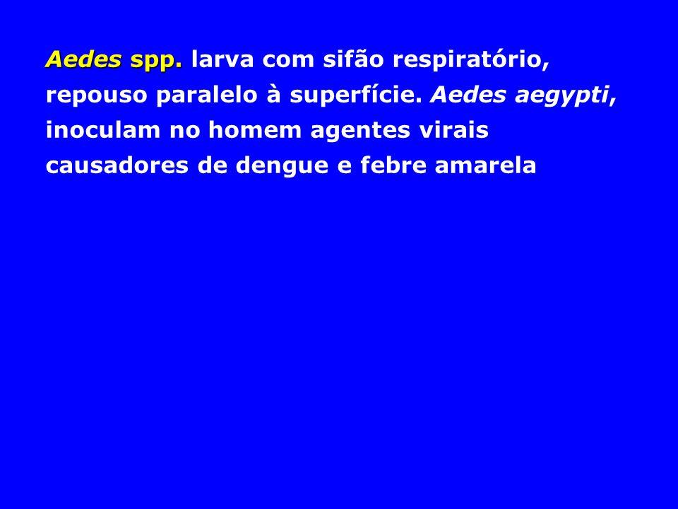 Aedes spp. Aedes spp. larva com sifão respiratório, repouso paralelo à superfície. Aedes aegypti, inoculam no homem agentes virais causadores de dengu