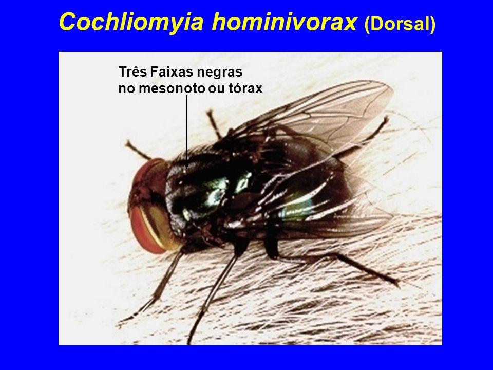 Cochliomyia hominivorax (Dorsal) Três Faixas negras no mesonoto ou tórax