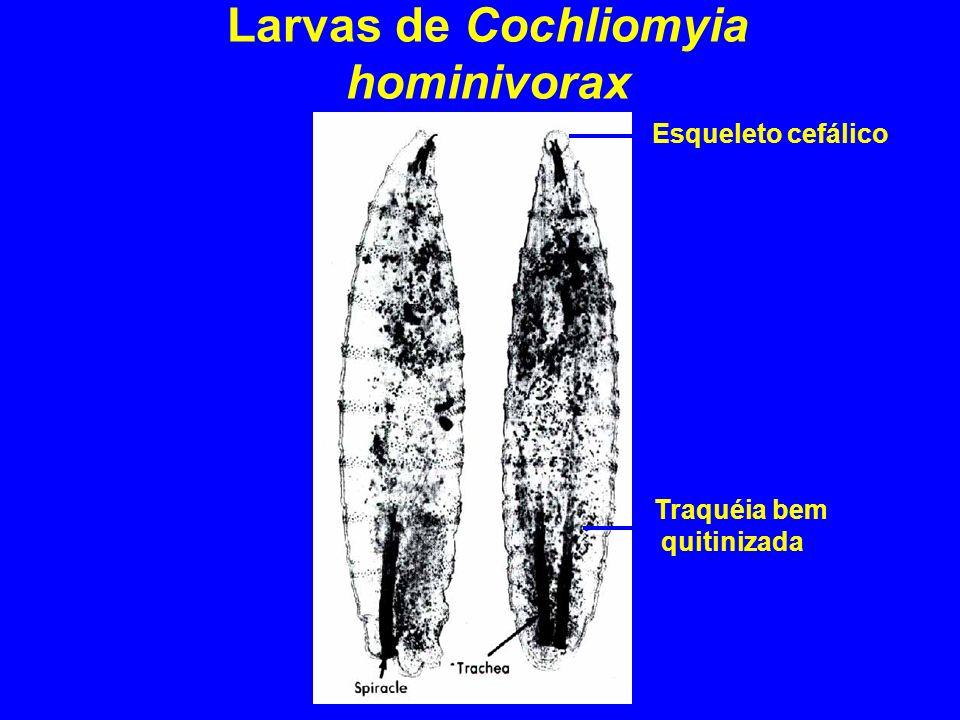 Larvas de Cochliomyia hominivorax Traquéia bem quitinizada Esqueleto cefálico