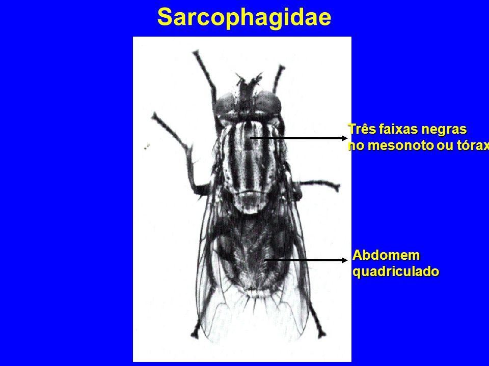 Sarcophagidae Três faixas negras no mesonoto ou tórax Abdomemquadriculado