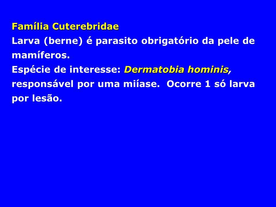 Família Cuterebridae Larva (berne) é parasito obrigatório da pele de mamíferos. Dermatobia hominis Espécie de interesse: Dermatobia hominis, responsáv