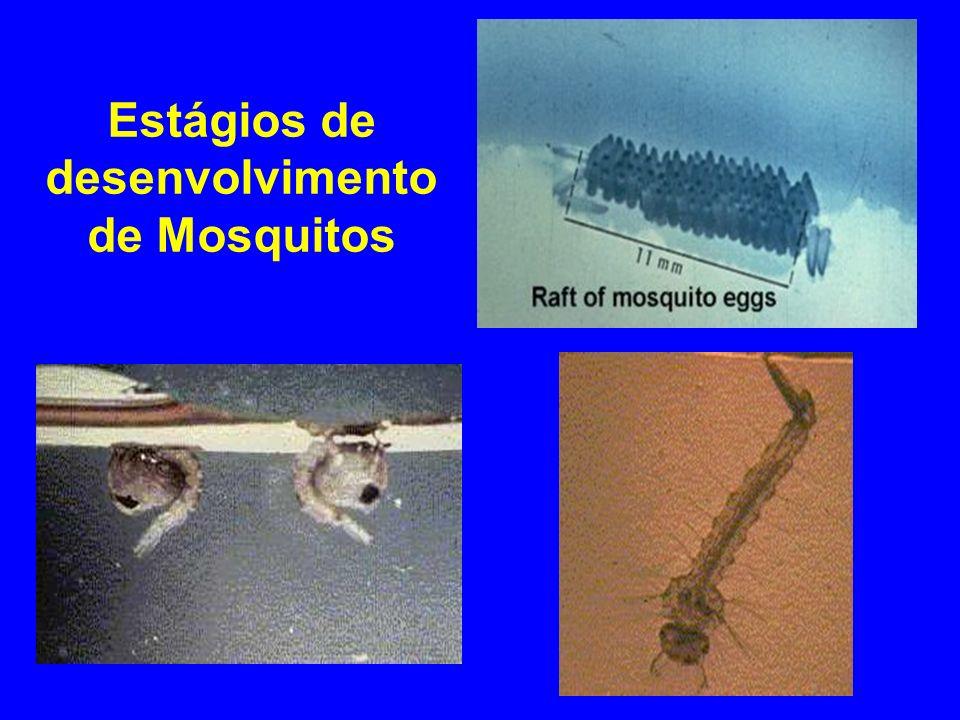 Aedes spp.Aedes spp. larva com sifão respiratório, repouso paralelo à superfície.