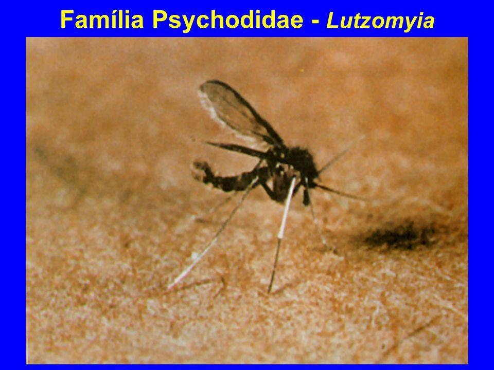 Lutzomyia
