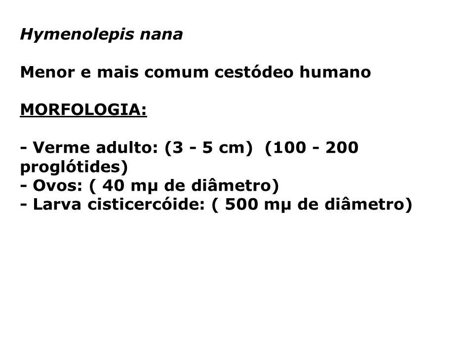 Hymenolepis nana Menor e mais comum cestódeo humano MORFOLOGIA: - Verme adulto: (3 - 5 cm) (100 - 200 proglótides) - Ovos: ( 40 mµ de diâmetro) - Larv
