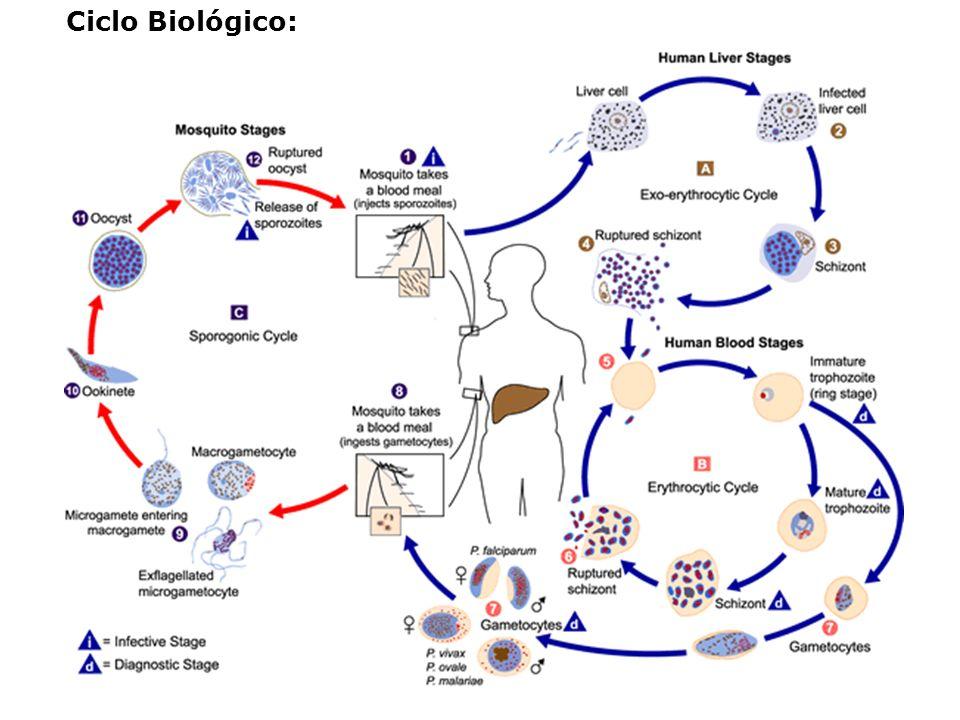 Ciclo Biológico: