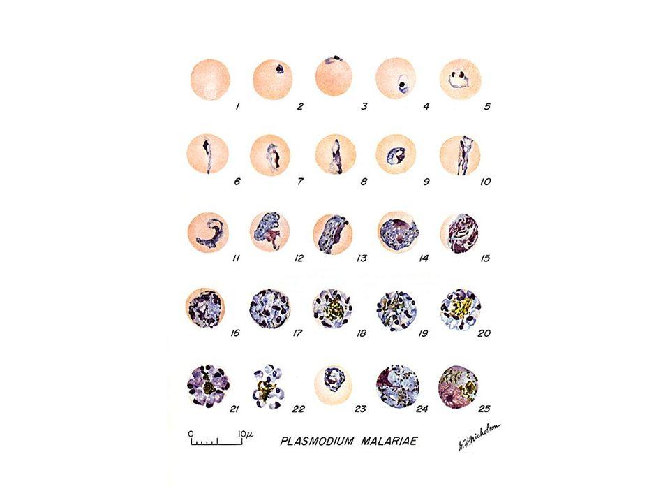 TRANSMISSÃO: - Inoculação de esporozoítos pela picada de Anopheles; - Congênita; - Transfusão sangüínea; - Contaminação de seringas.