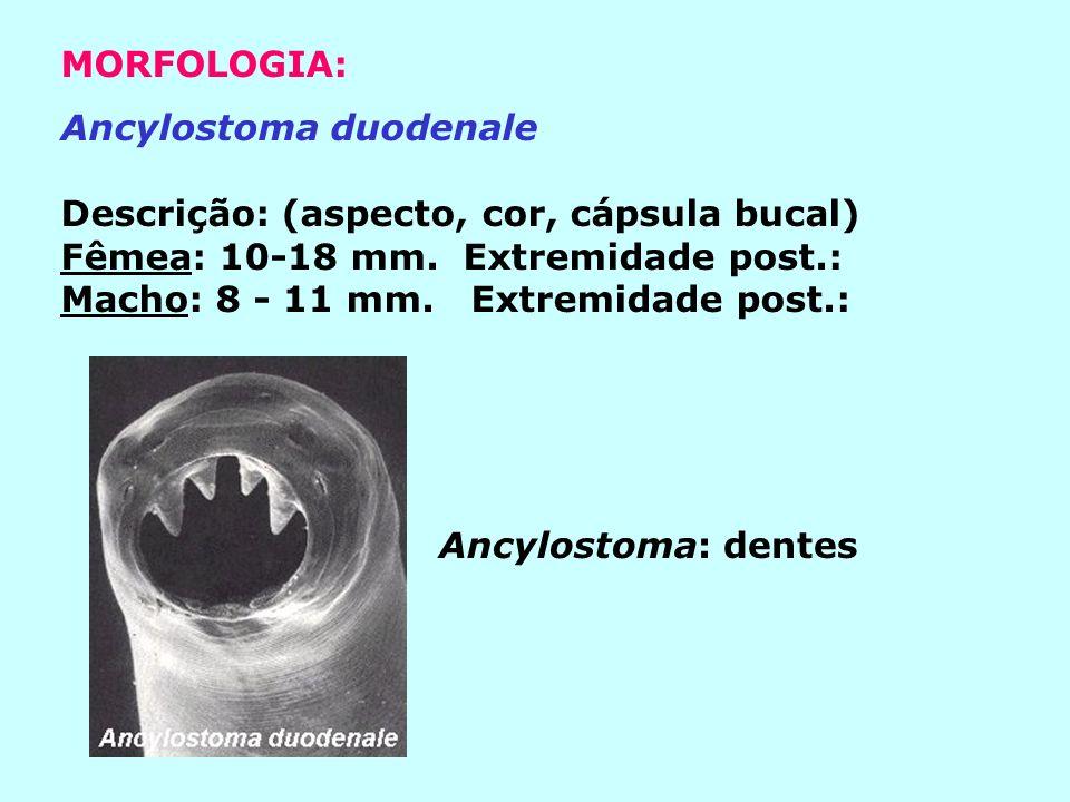 Necator americanus Descrição: (aspecto, cor, cápsula bucal) Fêmea: 9-11 mm Extremidade posterior Macho: 5-9 mm Extremidade posterior: Necator: lâminas cortantes