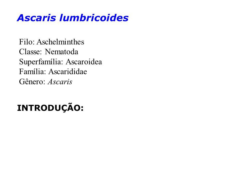 Ascaris lumbricoides INTRODUÇÃO: Filo: Aschelminthes Classe: Nematoda Superfamília: Ascaroidea Família: Ascarididae Gênero: Ascaris