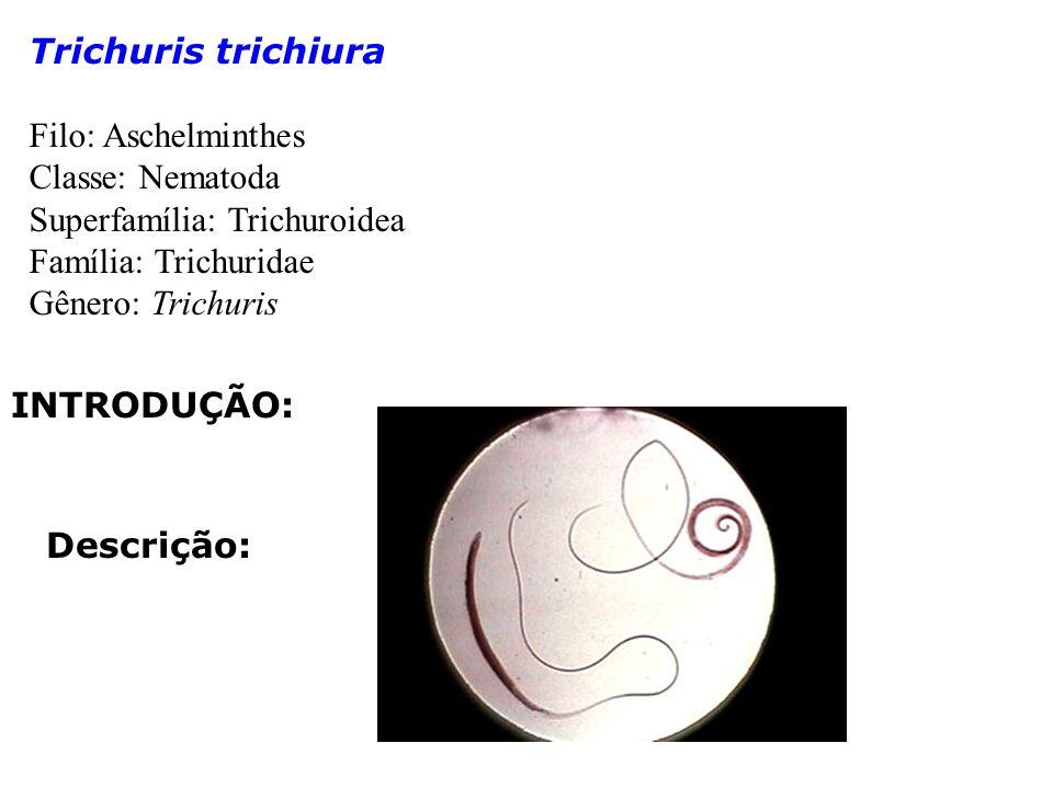 Trichuris trichiura Filo: Aschelminthes Classe: Nematoda Superfamília: Trichuroidea Família: Trichuridae Gênero: Trichuris INTRODUÇÃO: Descrição: