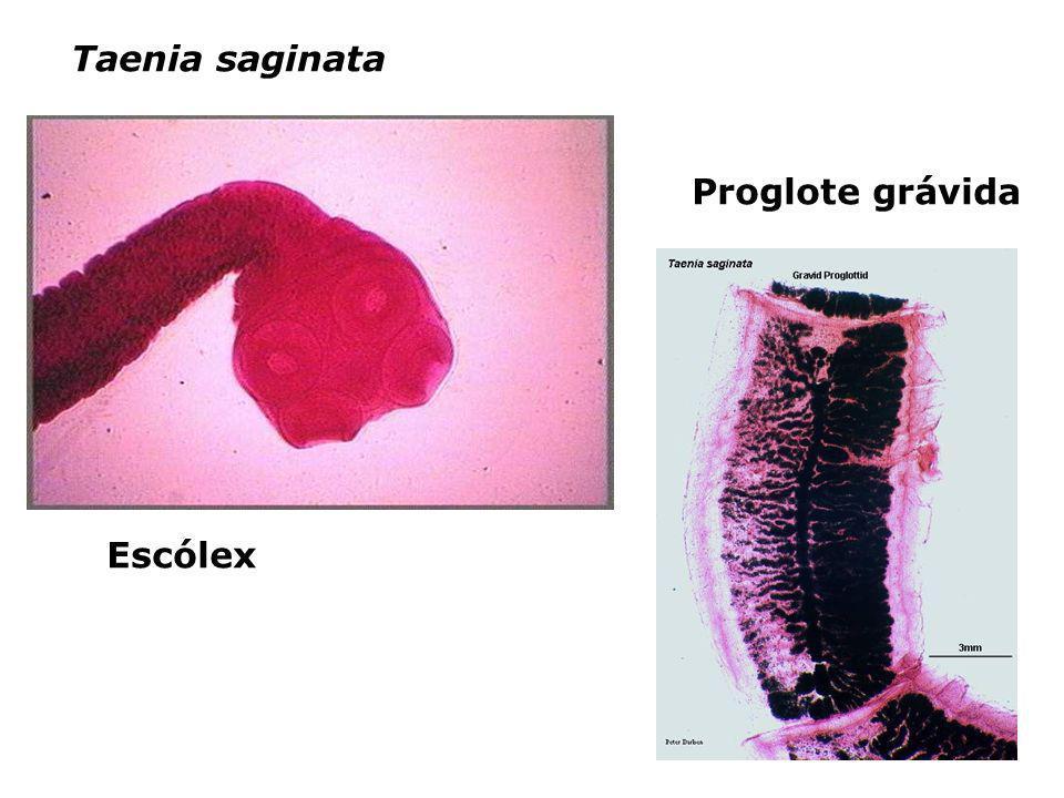 Taenia saginata Escólex Proglote grávida