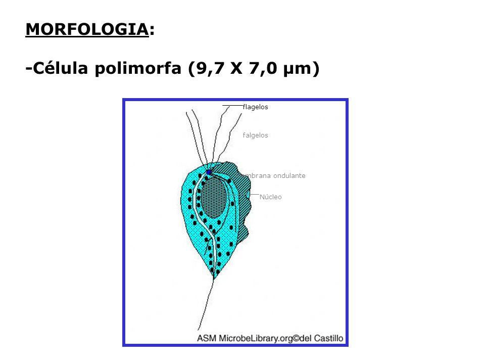 MORFOLOGIA: -Célula polimorfa (9,7 X 7,0 µm) flagelos Membrana ondulante Núcleo falgelos