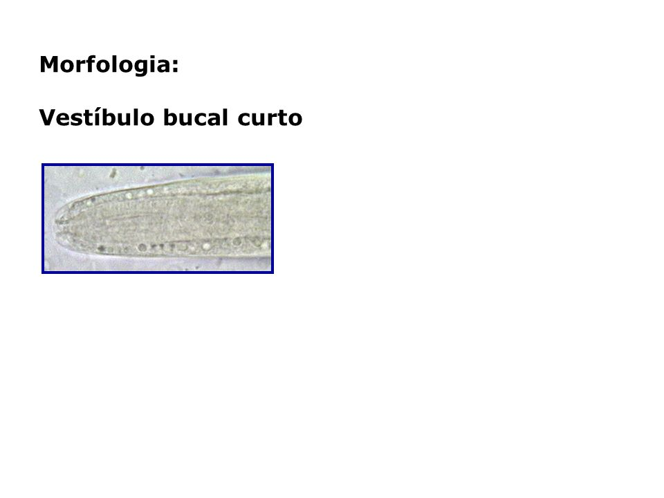 Morfologia: Vestíbulo bucal curto