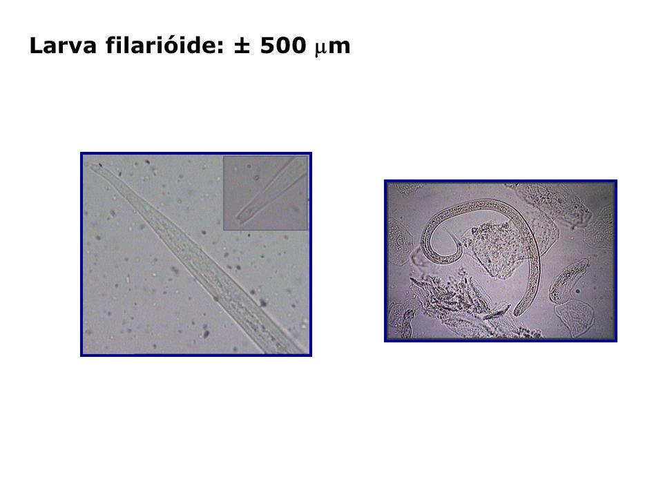 Larva filarióide: ± 500 m