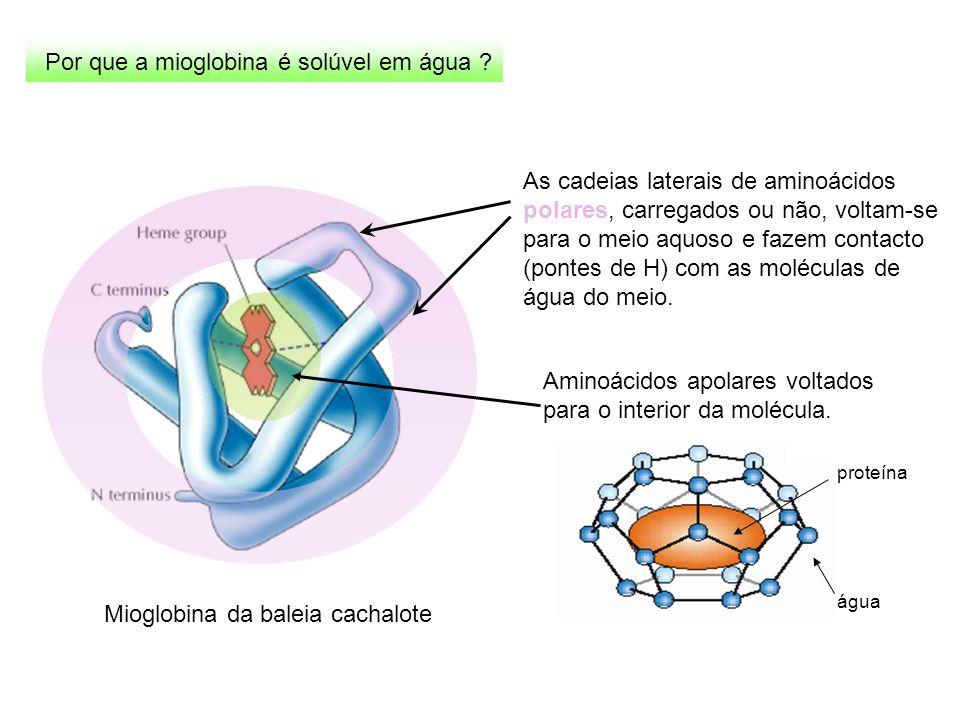 Mioglobina da baleia cachalote Por que a mioglobina é solúvel em água ? As cadeias laterais de aminoácidos polares, carregados ou não, voltam-se para