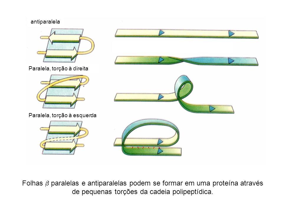 Folhas paralelas e antiparalelas podem se formar em uma proteína através de pequenas torções da cadeia polipeptídica. antiparalela Paralela, torção à