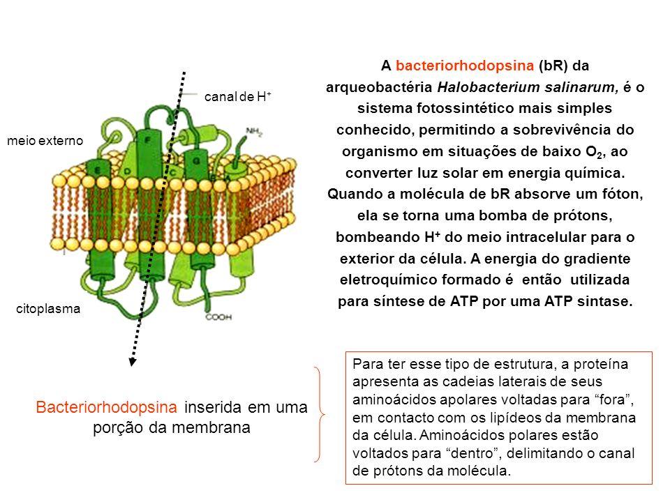 A bacteriorhodopsina (bR) da arqueobactéria Halobacterium salinarum, é o sistema fotossintético mais simples conhecido, permitindo a sobrevivência do