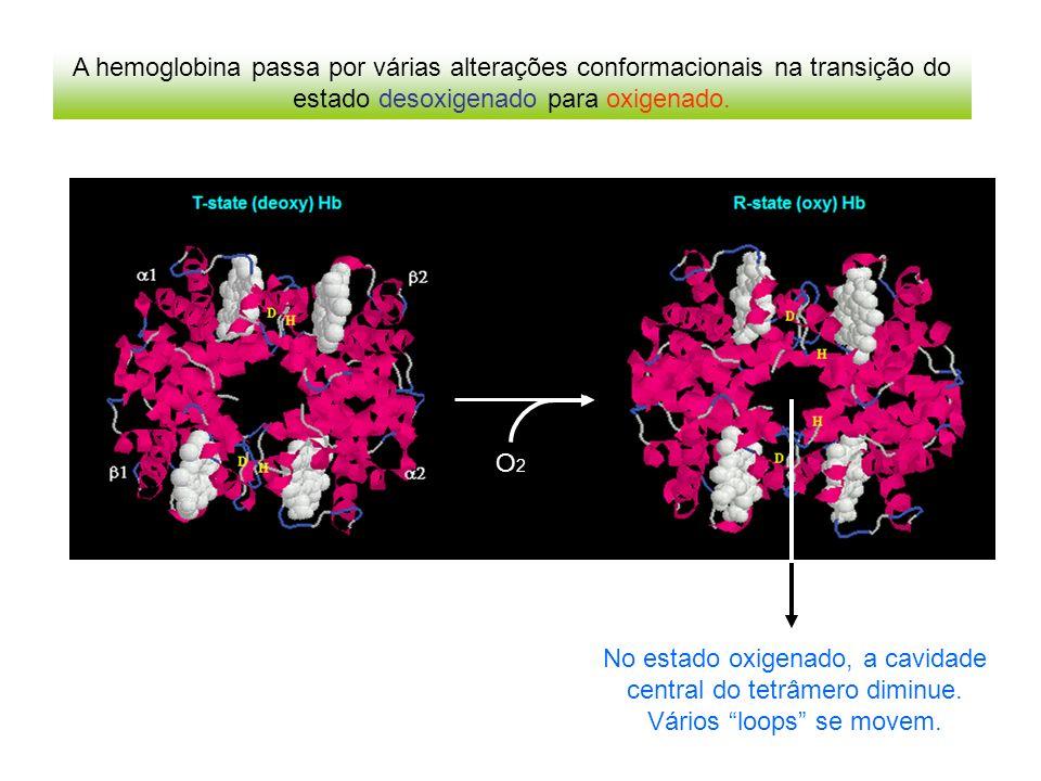 A hemoglobina passa por várias alterações conformacionais na transição do estado desoxigenado para oxigenado.