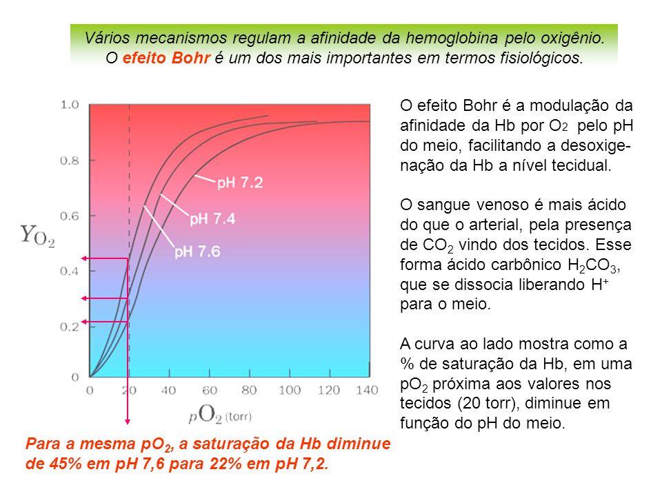 O efeito Bohr é a modulação da afinidade da Hb por O 2 pelo pH do meio, facilitando a desoxige- nação da Hb a nível tecidual.