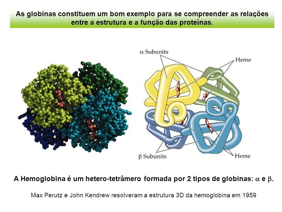 Evolução das globinas heme mioglobina hemoglobina Na evolução das globinas, houve um evento de duplicação gênica, e depois, divergência de cada um dos genes através de mutações pontuais, que acabaram originando as duas cadeias globínicas da atual hemoglobina.