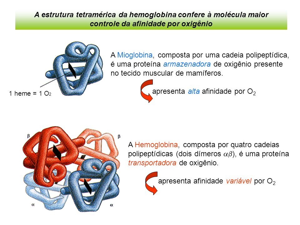 A Hemoglobina, composta por quatro cadeias polipeptídicas (dois dímeros ), é uma proteína transportadora de oxigênio.