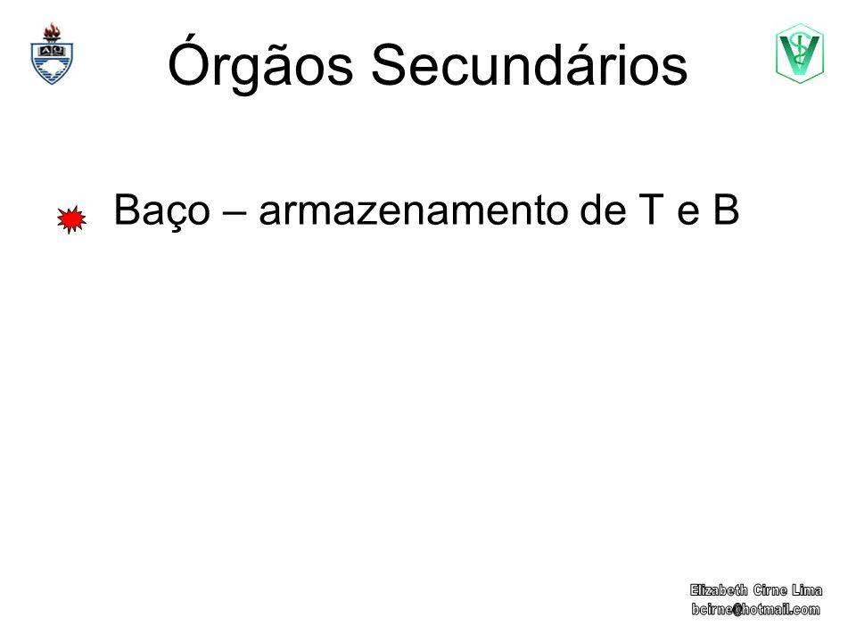 Órgãos Secundários Baço – armazenamento de T e B