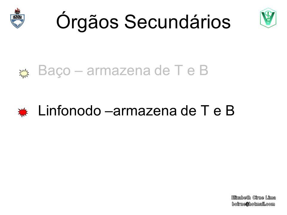 Órgãos Secundários Baço – armazena de T e B Linfonodo –armazena de T e B