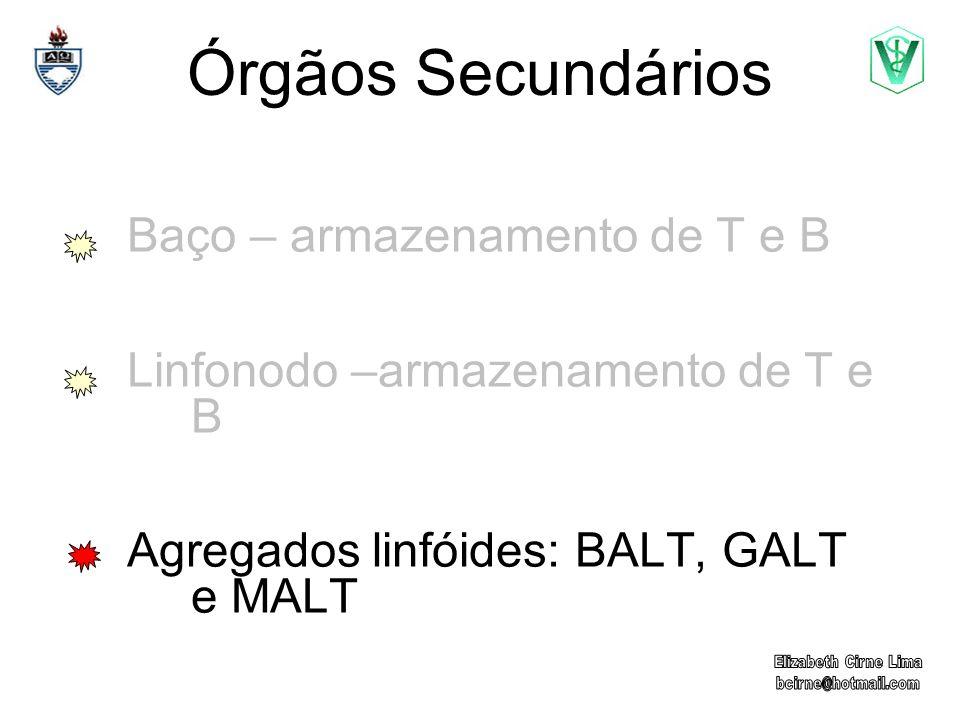 Órgãos Secundários Baço – armazenamento de T e B Linfonodo –armazenamento de T e B Agregados linfóides: BALT, GALT e MALT