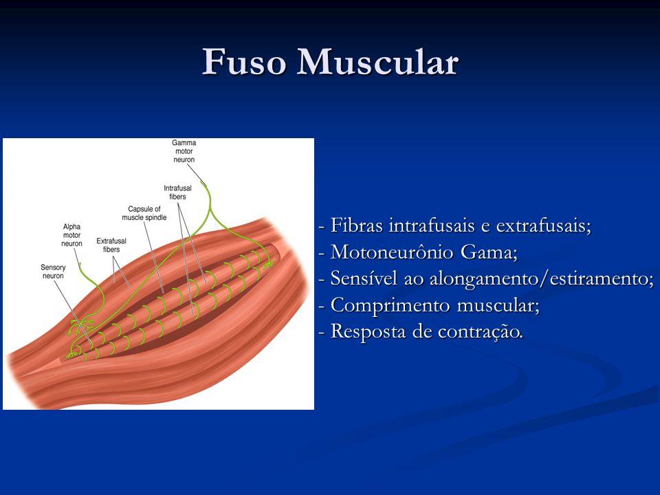 Fuso Muscular - Fibras intrafusais e extrafusais; - Motoneurônio Gama; - Sensível ao alongamento/estiramento; - Comprimento muscular; - Resposta de co