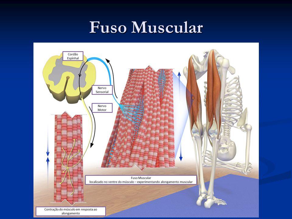 Fuso Muscular