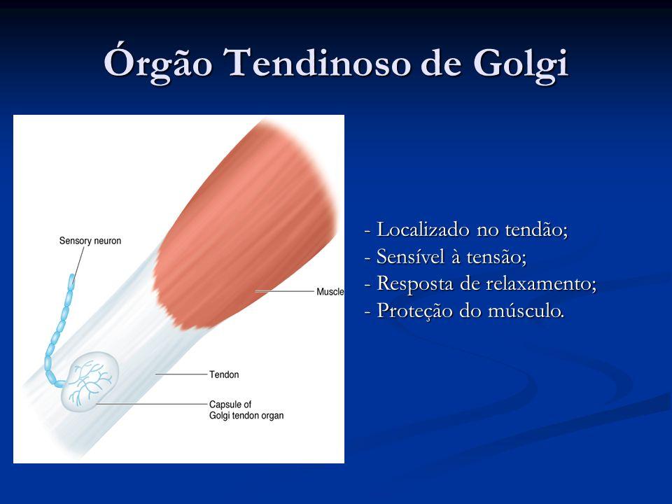 Órgão Tendinoso de Golgi - Localizado no tendão; - Sensível à tensão; - Resposta de relaxamento; - Proteção do músculo.