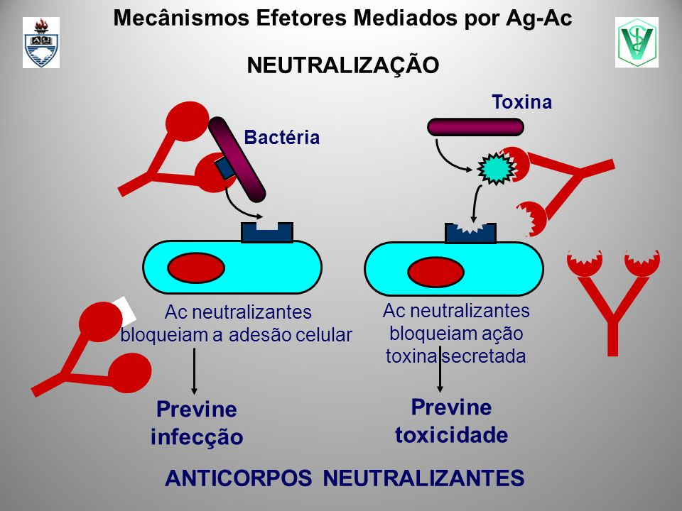 Y ` ` Y ` ` Mecânismos Efetores Mediados por Ag-Ac NEUTRALIZAÇÃO Y ` ` Ac neutralizantes bloqueiam ação toxina secretada Previne toxicidade ANTICORPOS