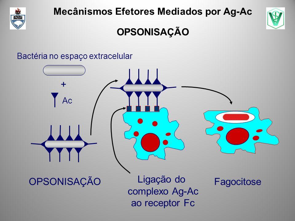 Ligação do complexo Ag-Ac ao receptor Fc Mecânismos Efetores Mediados por Ag-Ac OPSONISAÇÃO Fagocitose Bactéria no espaço extracelular Ac +