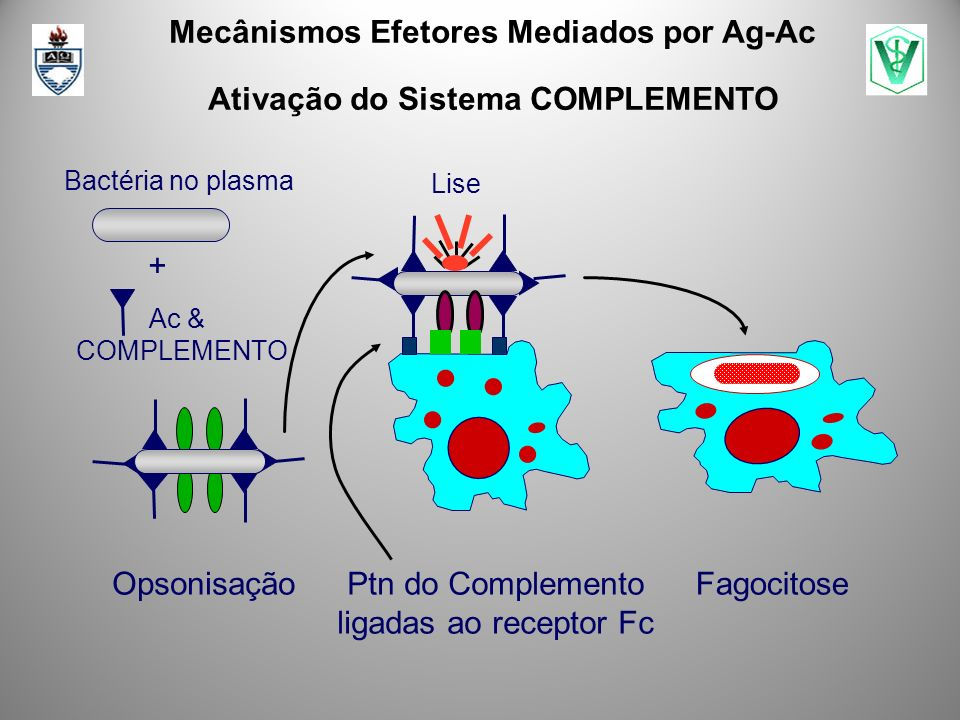 Mecânismos Efetores Mediados por Ag-Ac Ativação do Sistema COMPLEMENTO Bactéria no plasma Ac & COMPLEMENTO + Fagocitose Ptn do Complemento ligadas ao