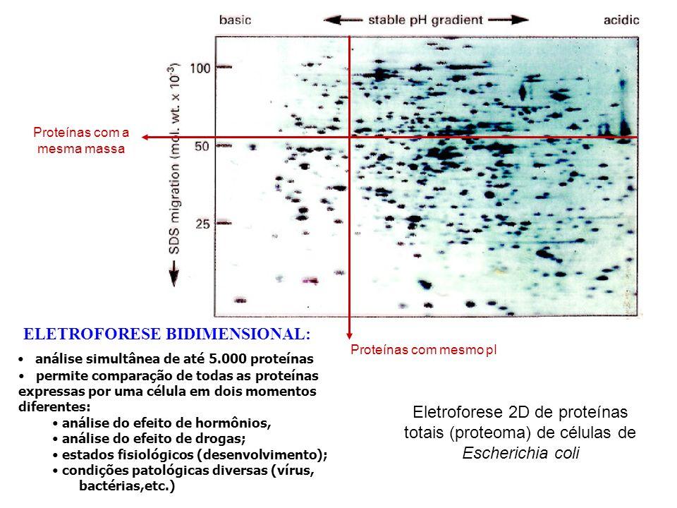 ELETROFORESE BIDIMENSIONAL: análise simultânea de até 5.000 proteínas permite comparação de todas as proteínas expressas por uma célula em dois moment