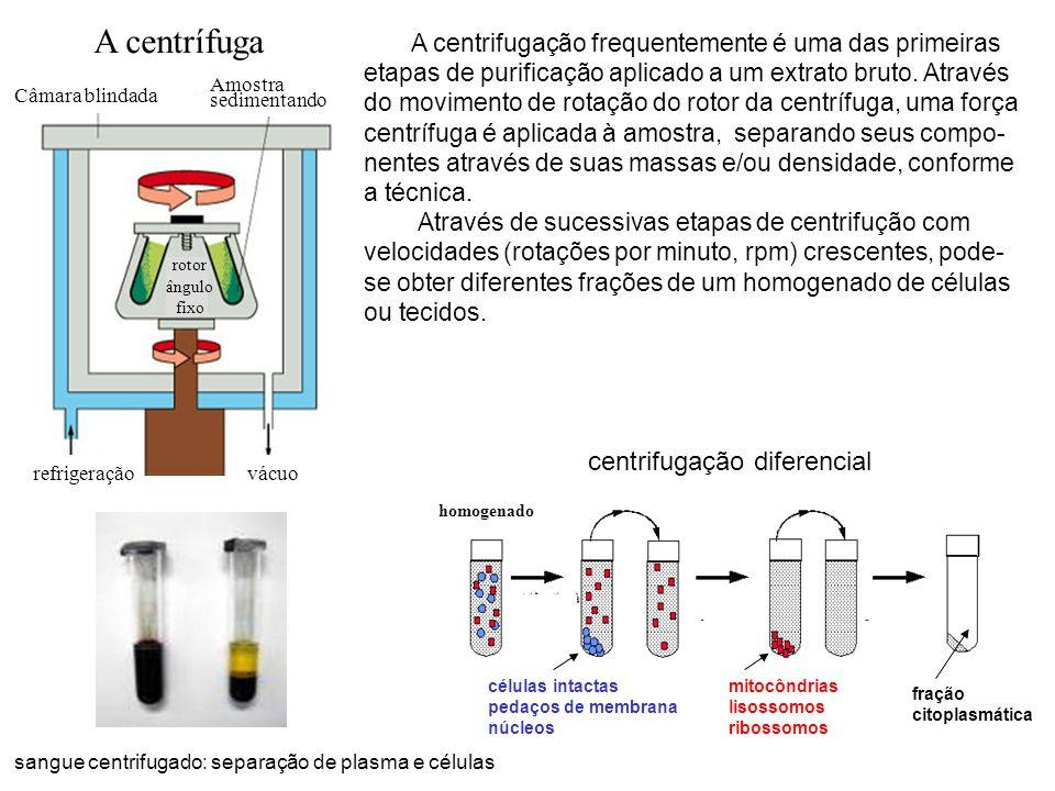 sangue centrifugado: separação de plasma e células A centrifugação frequentemente é uma das primeiras etapas de purificação aplicado a um extrato brut