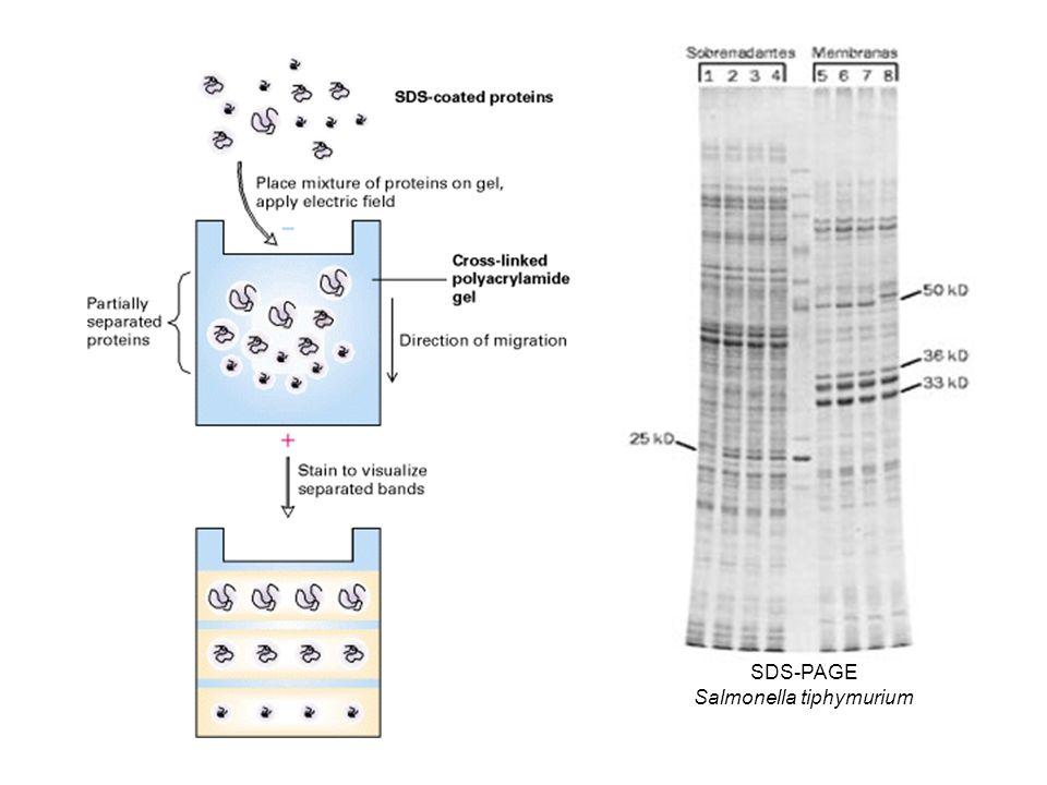 SDS-PAGE Salmonella tiphymurium
