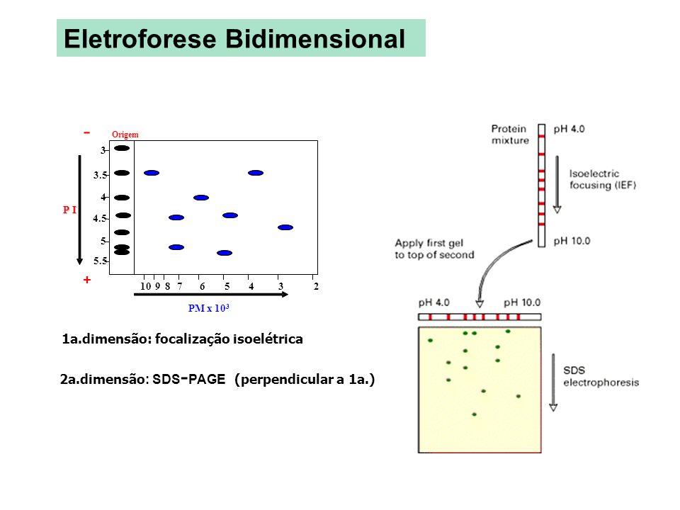 1a.dimensão: focalização isoelétrica 2a.dimensão : SDS - PAGE (perpendicular a 1a.) PM x 10 3 Eletroforese Bidimensional - P I + 3 3.5 4 4.5 5 5.5 Ori