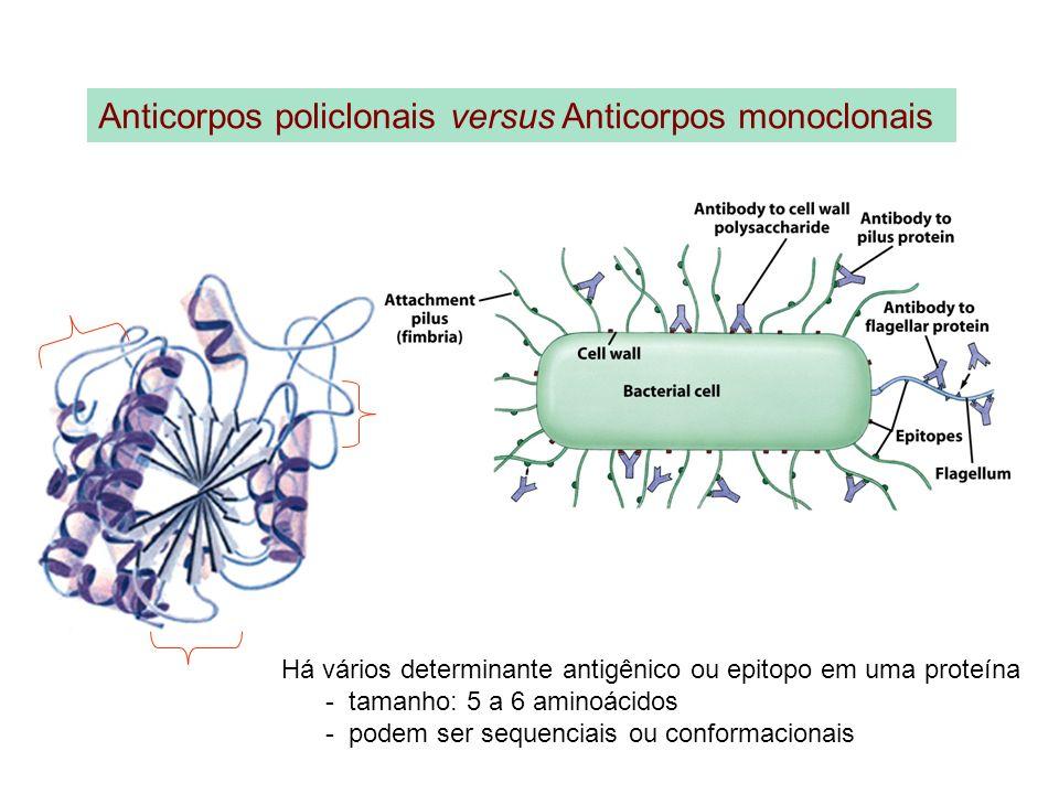 Anticorpos policlonais versus Anticorpos monoclonais Há vários determinante antigênico ou epitopo em uma proteína - tamanho: 5 a 6 aminoácidos - podem