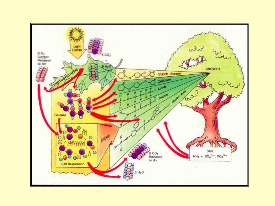 Histórico: Até 1930: principal reação CO 2 + luz C e O 2 ; carbono carbohidratos por reação com H 2 O A partir de 1930: [bactérias assimilando CO 2 a carbohidratos sem o uso da luz [van Neil bactérias assimilam CO 2 na luz sem a liberação de O 2 Equação Geral: [CO 2 + 4H 2 A -------------> (CH 2 O) + H 2 O + 2A [H 2 A = substrato oxidável (água); 2A = O 2