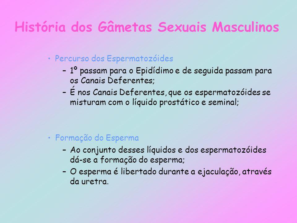 História dos Gâmetas Sexuais Masculinos Percurso dos Espermatozóides –1º passam para o Epidídimo e de seguida passam para os Canais Deferentes; –É nos