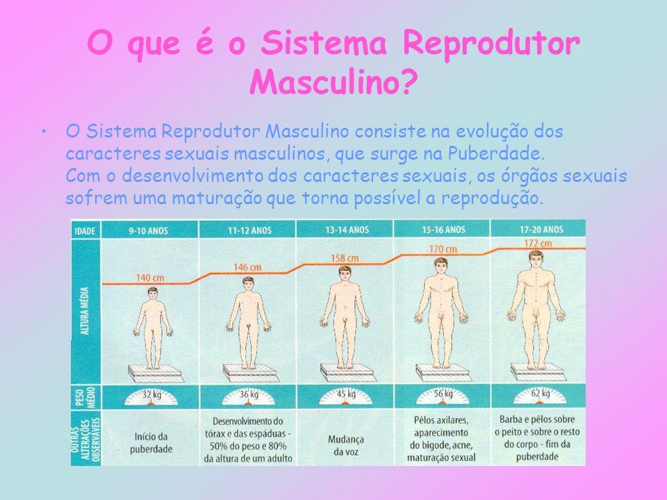 O que é o Sistema Reprodutor Masculino? O Sistema Reprodutor Masculino consiste na evolução dos caracteres sexuais masculinos, que surge na Puberdade.