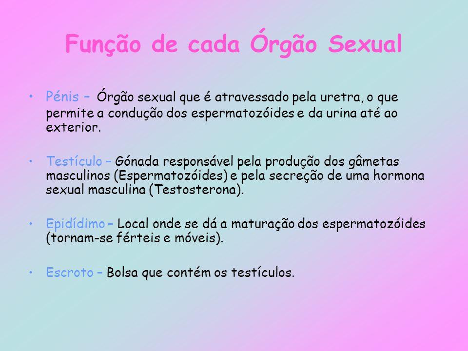 Pénis – Órgão sexual que é atravessado pela uretra, o que permite a condução dos espermatozóides e da urina até ao exterior. Testículo – Gónada respon
