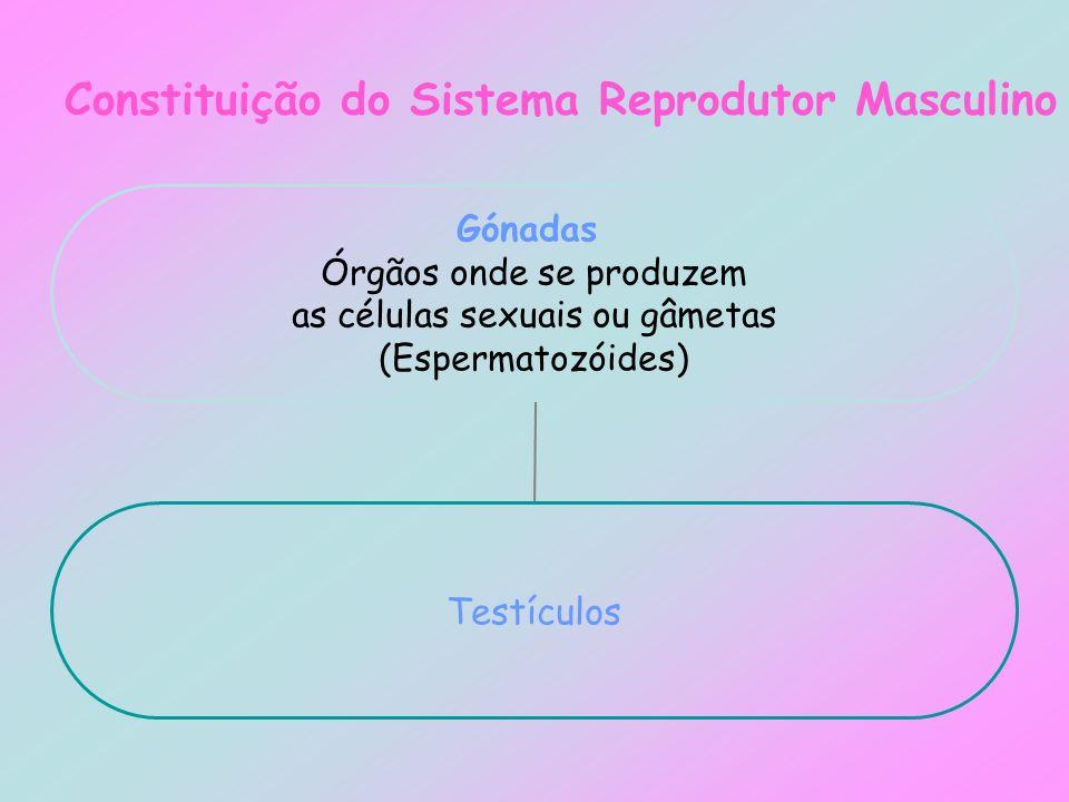 Constituição do Sistema Reprodutor Masculino Gónadas Órgãos onde se produzem as células sexuais ou gâmetas (Espermatozóides) Testículos