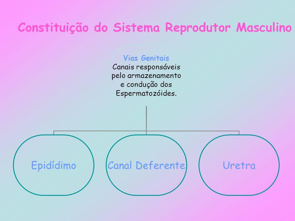 Constituição do Sistema Reprodutor Masculino Vias Genitais Canais responsáveis pelo armazenamento e condução dos Espermatozóides. EpidídimoCanal Defer