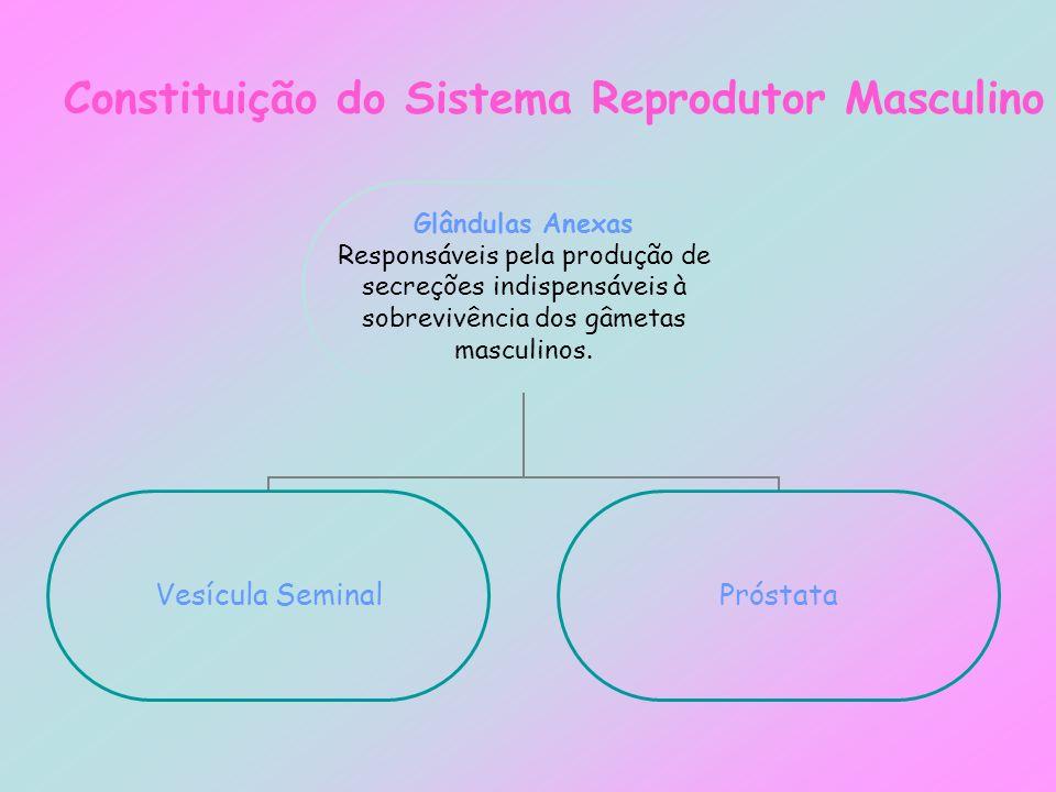 Constituição do Sistema Reprodutor Masculino Glândulas Anexas Responsáveis pela produção de secreções indispensáveis à sobrevivência dos gâmetas mascu