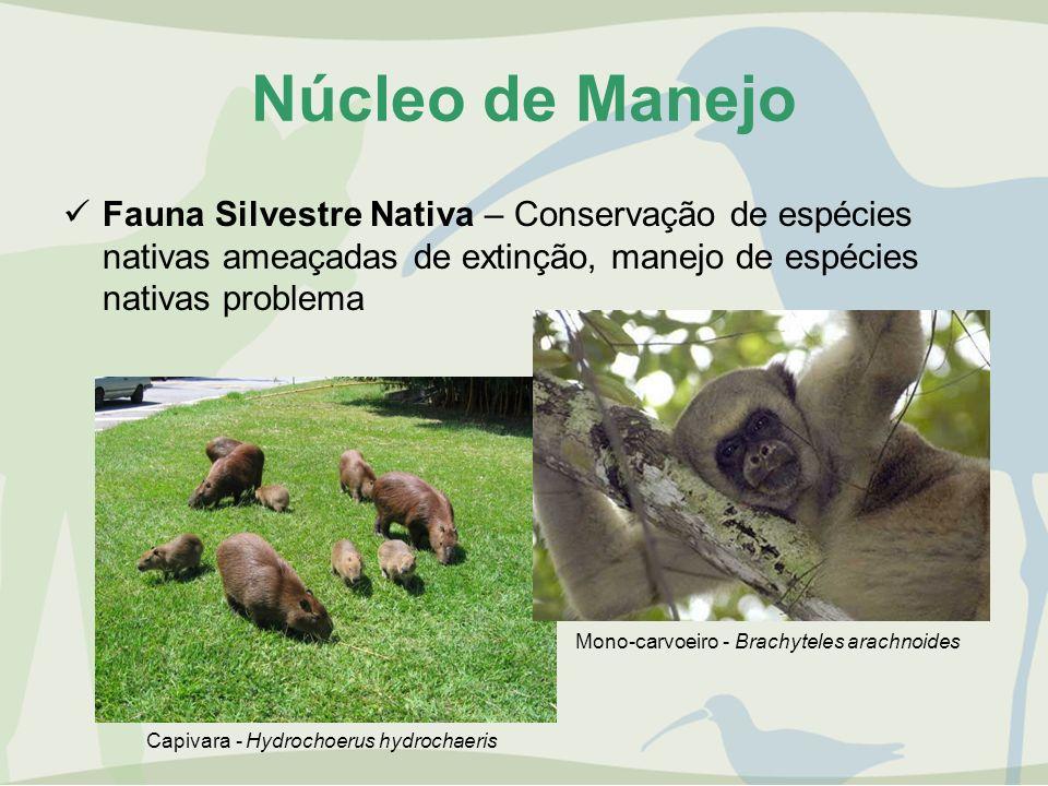 Núcleo de Manejo Fauna Silvestre Nativa – Conservação de espécies nativas ameaçadas de extinção, manejo de espécies nativas problema Capivara - Hydroc